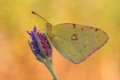 Postillon (Colias croceus) 05