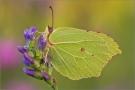 Zitronenfalter (Gonepteryx rhamni) 01