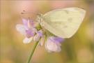 Kleiner Kohlweißling (Pieris rapae) 02
