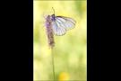 Baumweißling (Aporia crataegi) 02