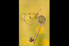 Postillon (Colias croceus) 09
