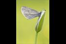 Senfweißling (Leptidea sinapis / reali) 06