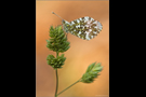 Aurorafalter (Anthocharis cardamines) 07