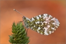 Aurorafalter (Anthocharis cardamines) 06