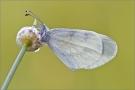 Senfweißling (Leptidea sinapis / reali) 05