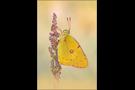 Postillon (Colias croceus) 04