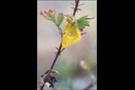 Postillon (Colias croceus) 10