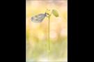 Senfweißling (Leptidea sinapis / reali) 07