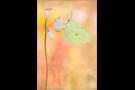 Zitronenfalter (Gonepteryx rhamni) 03